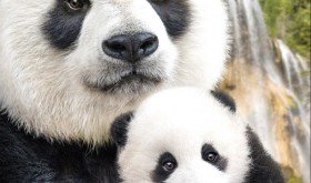 "Celebrate National Panda Day With This Cute ""Born In China"" Clip + Fun Facts #BornInChina"